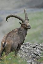 Steinbock im CH-Nationalpark