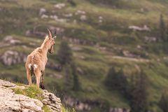 Steinbock in den Berner Alpen