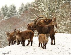Steinböcke im Winter