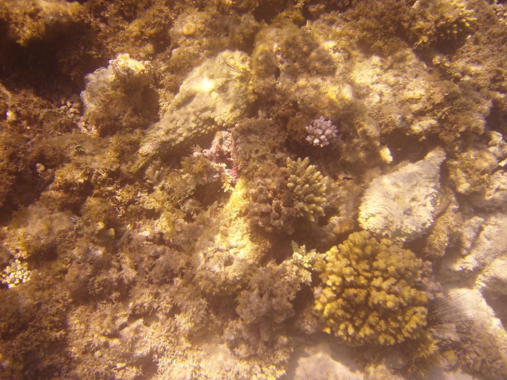 Steinfische