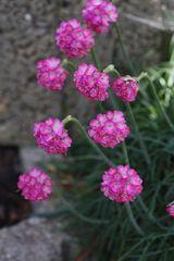 Steingartenblüten