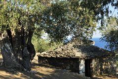 Steinhaus und die alte Olive