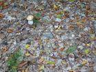 Steinpilze im Buchenmischwald