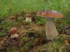 Steinpilze im regnerischen Wald