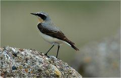 Steinschmätzer sind Vögel des offenen Geländes...