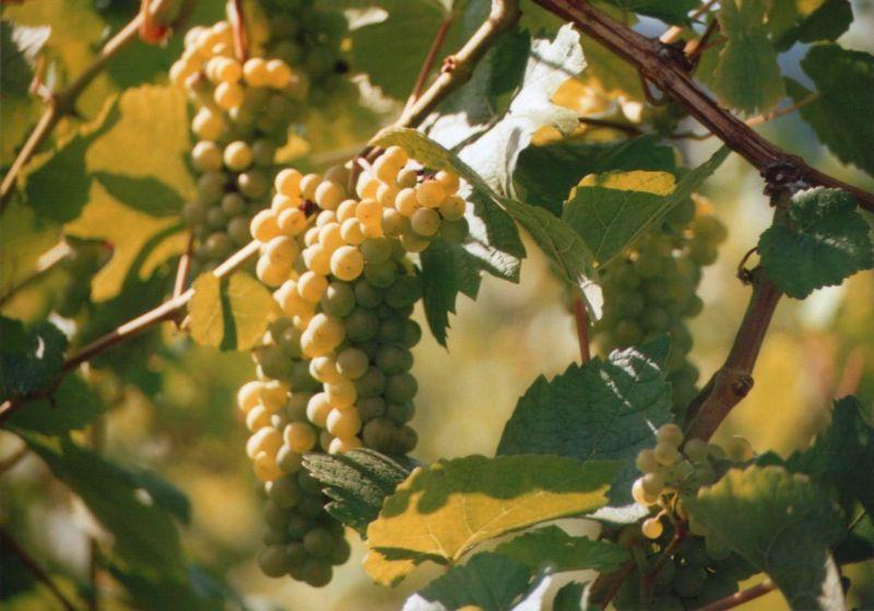 Steirischer Wein ...