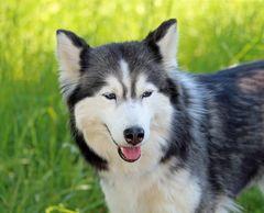 Stella -Sibirischer Husky-