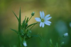 Stellaria holostea – Große Sternmiere