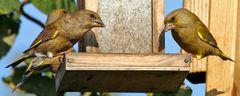 Stelldichein der Grünfinken