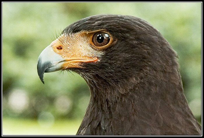 Steller´s sea-eagle 1