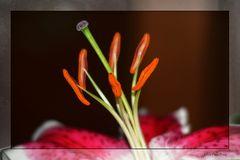 Stempel einer Lilie