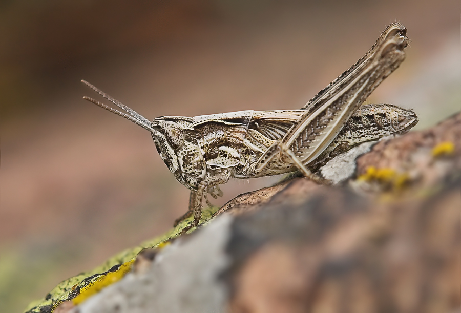 Stenobothrus nigromaculatus, Larve