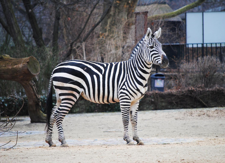 Steppen - Zebra (Equus quagga)