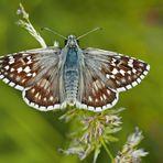 Steppenheiden-Würfel-Dickkopffalter (Pyrgus carthami)* - L'Hespérie du Carthame.