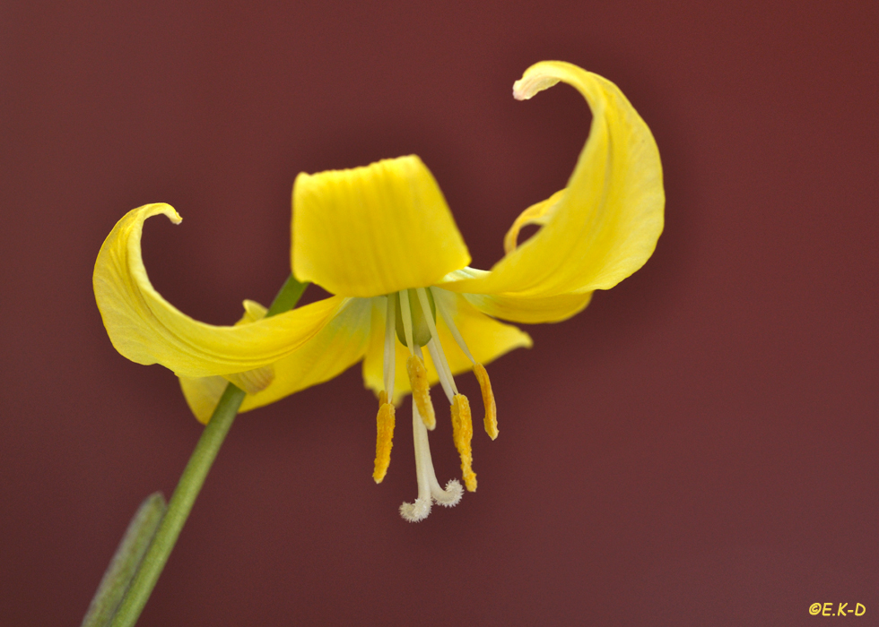 Stern-Hundszahn (Erythronium tuolumnense)