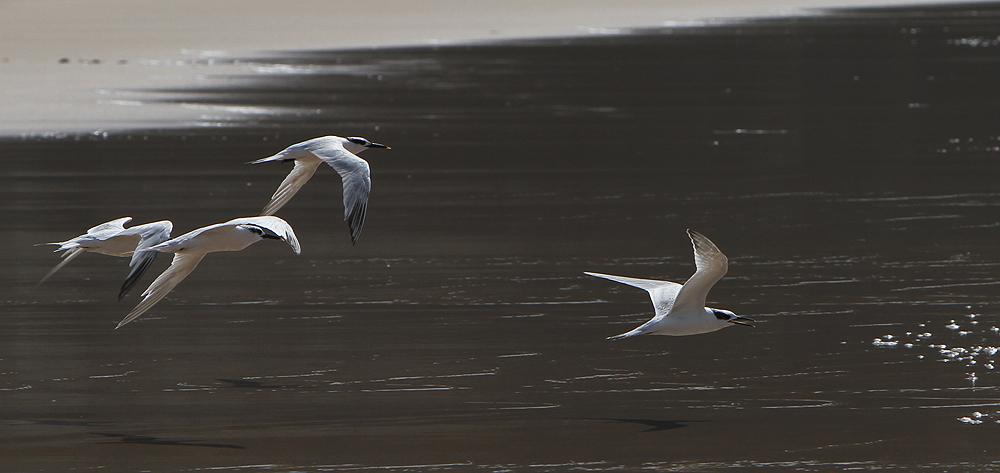 Sterne pierregarin - Seeschwalbe