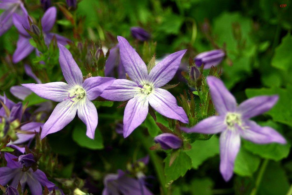sternentrio aus Blumen