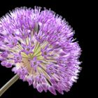Sternkugellauch - (Allium christophii)