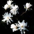 Sternmagnolie - Magnolia stellata ...
