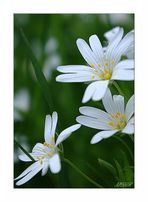 Sternmiere / chickweed