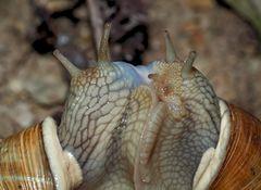 Sternstunde bei den Weinbergschnecken (Helix pomatia) - Escargot de Bourgogne.