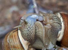Sternstunde bei den Weinbergschnecken (Helix pomatia)  - Escargots de Bourgogne.