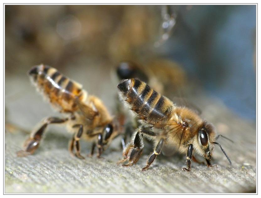 Sterzelnde Bienen am Flugloch