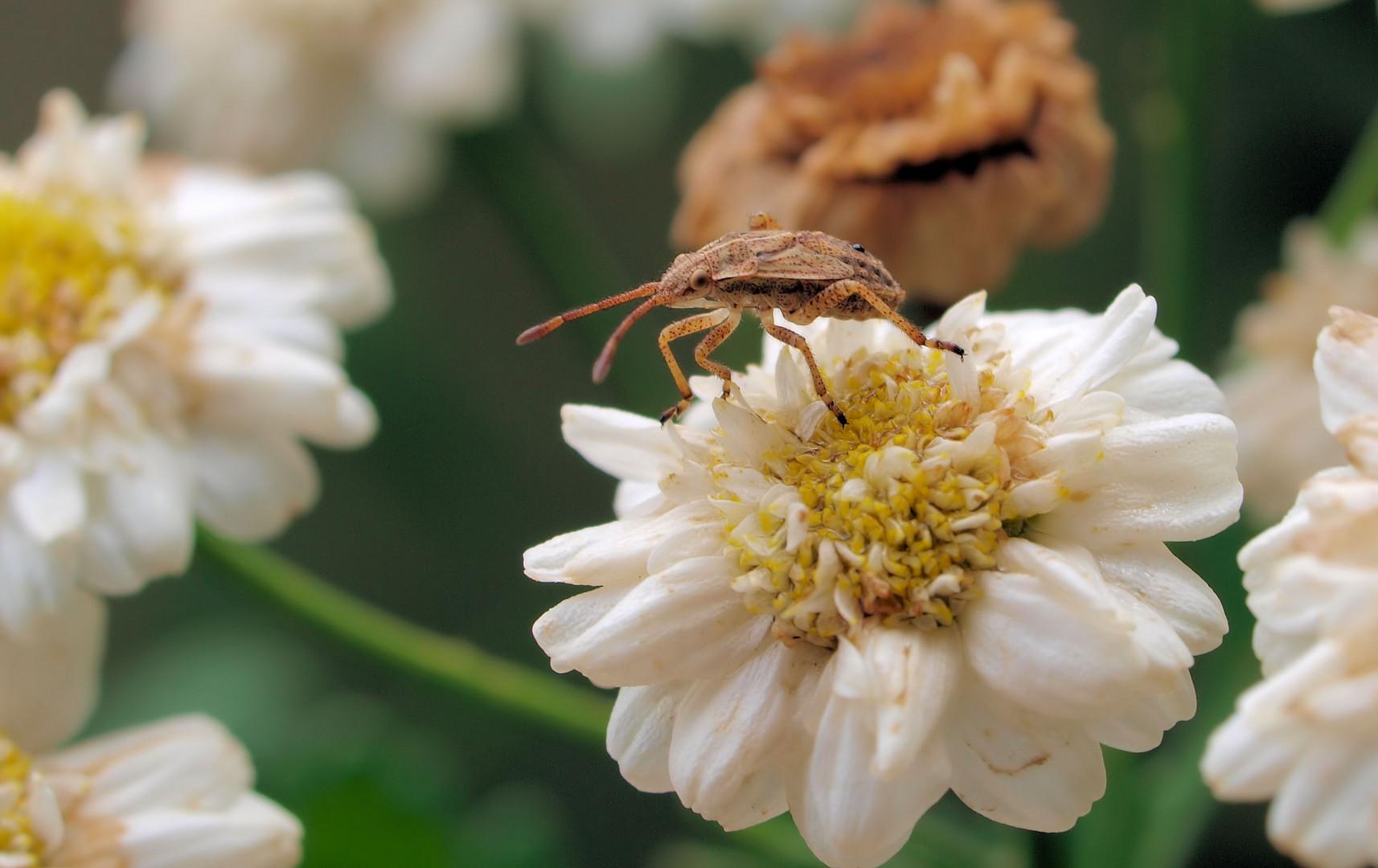 Stictopleurus abutilon Larve