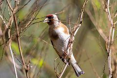 Stieglitz beim Nestmaterial sammeln