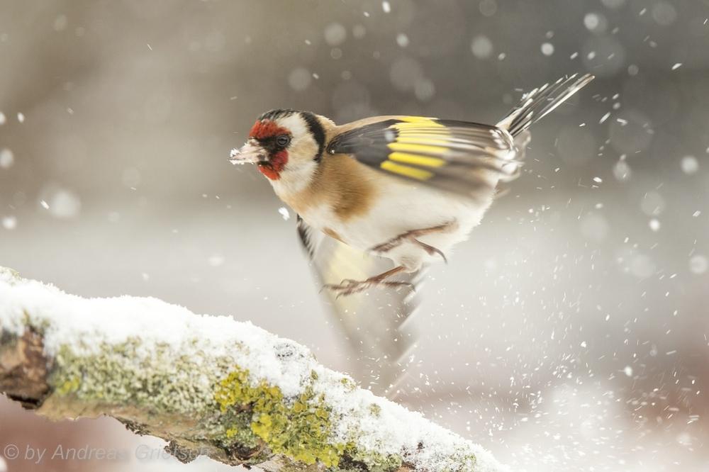 Stieglitz im Schneesturm