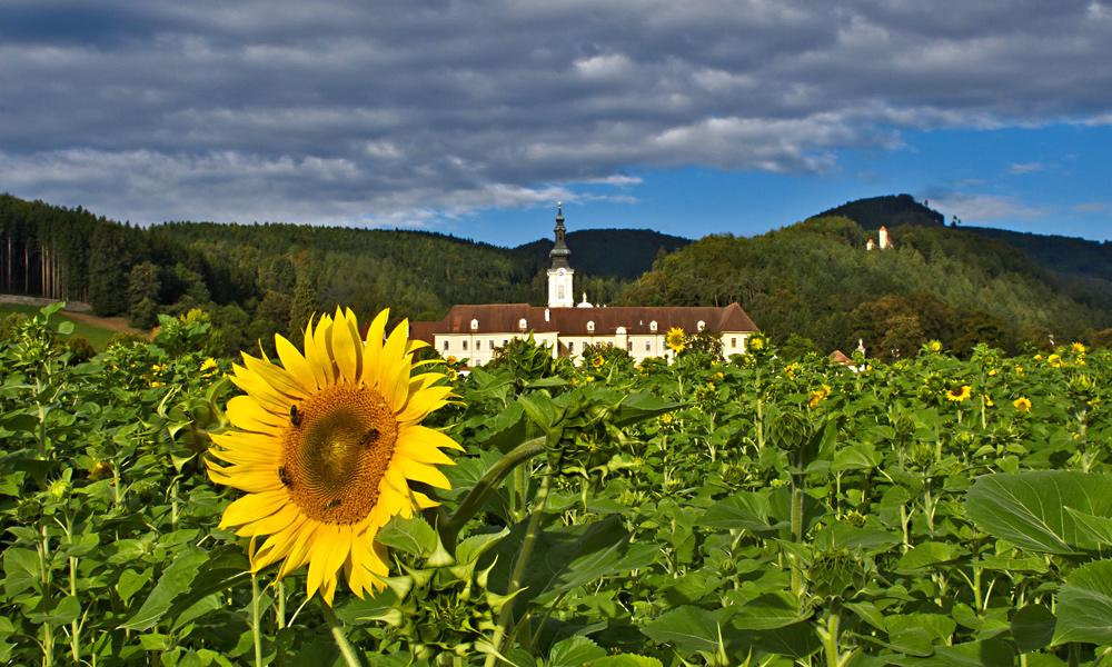 Stift Rein mit Sonnenblume!