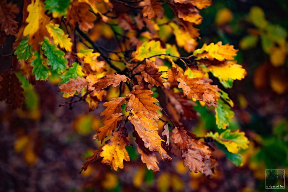Stil-Eiche - Quercus robur