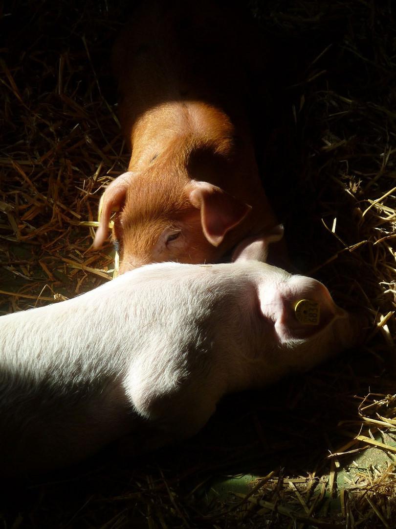 Stileben mit Schwein