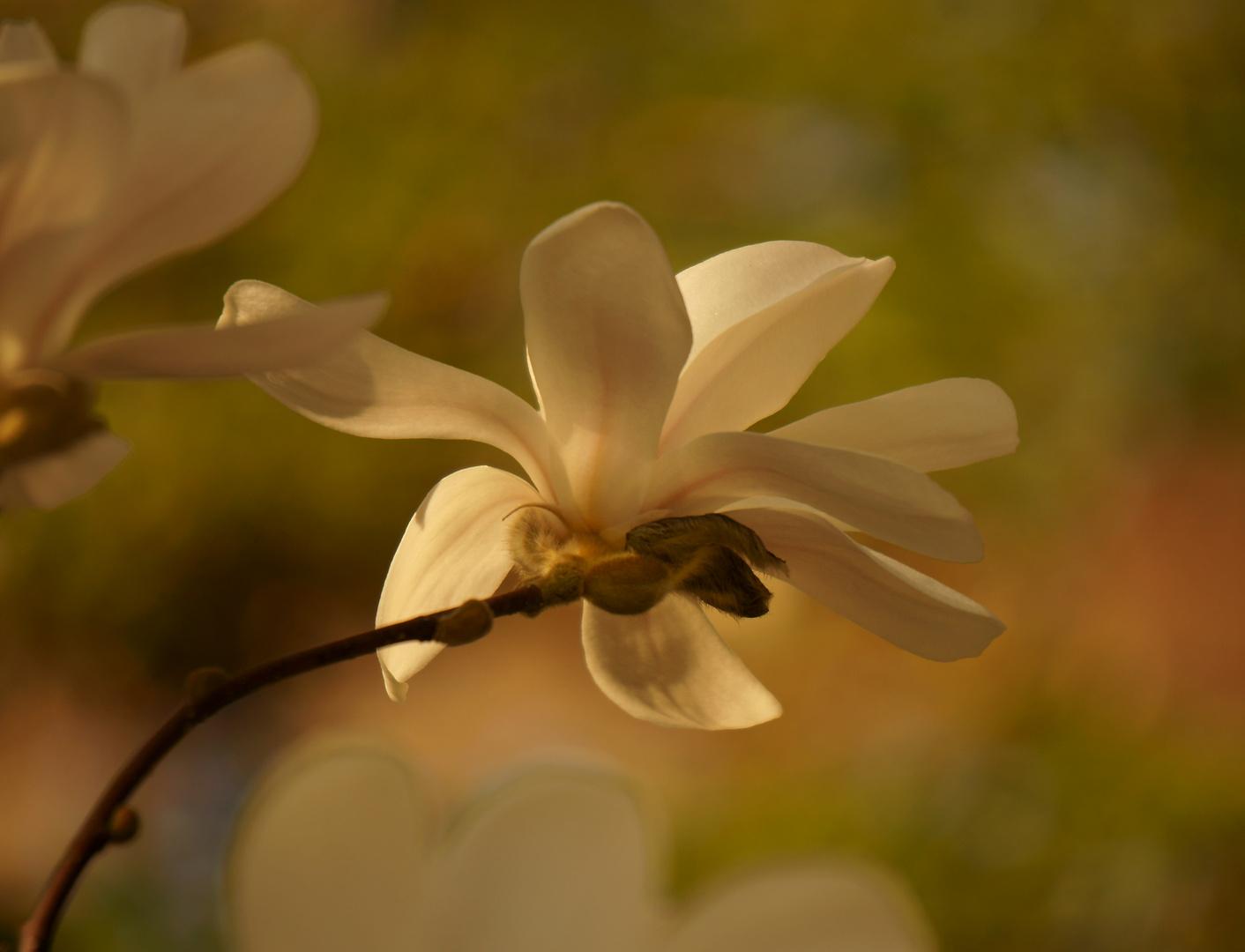 Stillleben II - Magnolienblüte