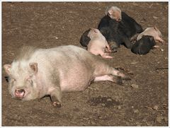 Stillleben mit Schweinefamilie