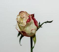 Stillleben Rose