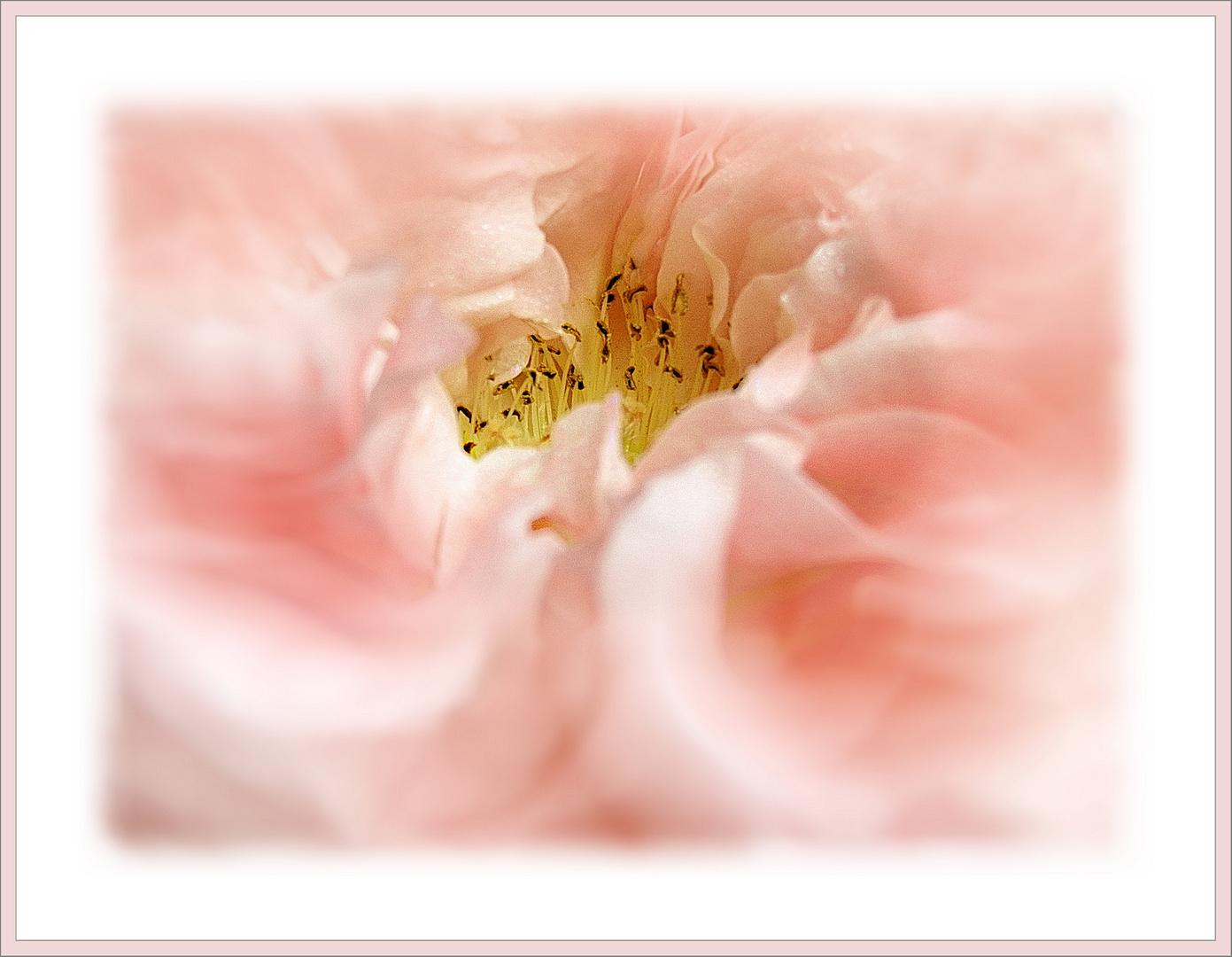 Stillvoll  einer Rose