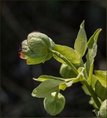 Stinkende Nieswurz (Helleborus foetidus)