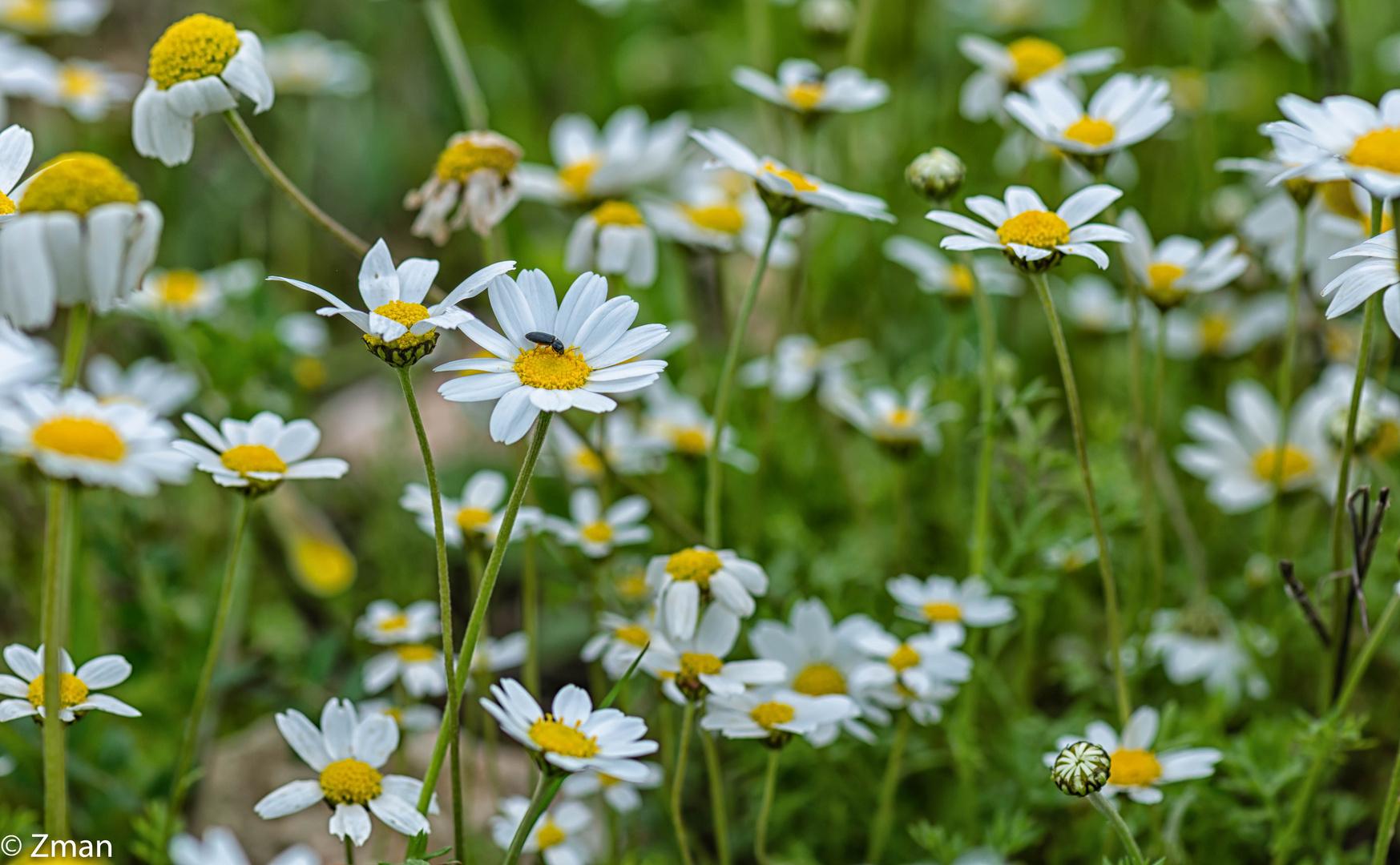 Stinking Chamomile Flowers-23