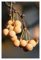 Stinko (Ginkgo) biloba - Früchte