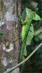 stirnlappenbasilisk / emerald basilisk / basiliscus plumifrons (25 cm)