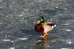 Stockente auf dem Eis (II)