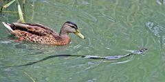 Stockente u. Ringelnatter (Natrix natrix) - Canard et serpent!