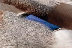 Stockentendetail ( Anas platyrhynchos )