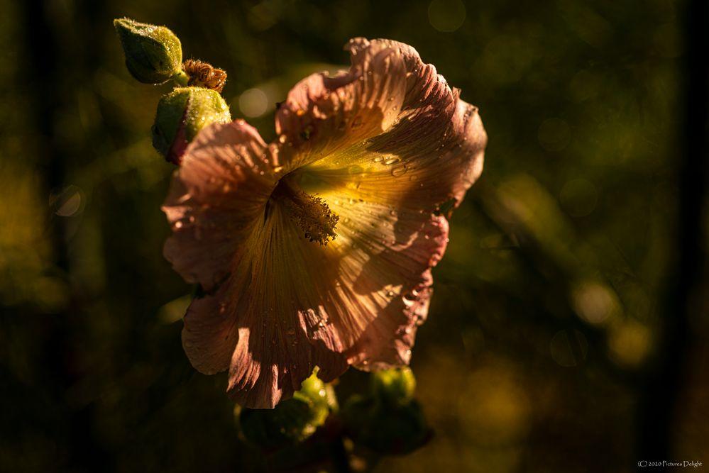 - Stockrose (Alcea rosea) -