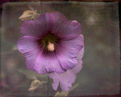 Stockrose (Alcea rosea)