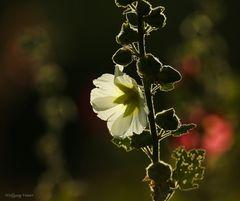 Stockrose (Malve) im Gegenlicht