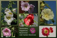 Stockrosen -3-