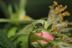Stockrosen-Spitzmausrüssler ( Aspidapion validum )