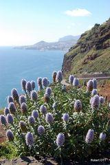 Stolz von Madeira